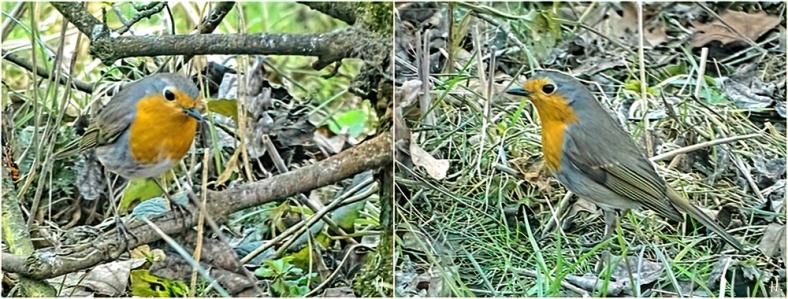 2021-03-23 LüchowSss Garten Rotkehlchen (Erithacus rubecula) auf Futtersuche unter dem Feldahorn