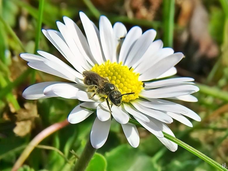 2021-03-26 LüchowSss Garten Gänseblümchen (Bellis perennis) + Kleine Sandbiene (Andrena minutula) oder (Andrena minutuloides) (3)