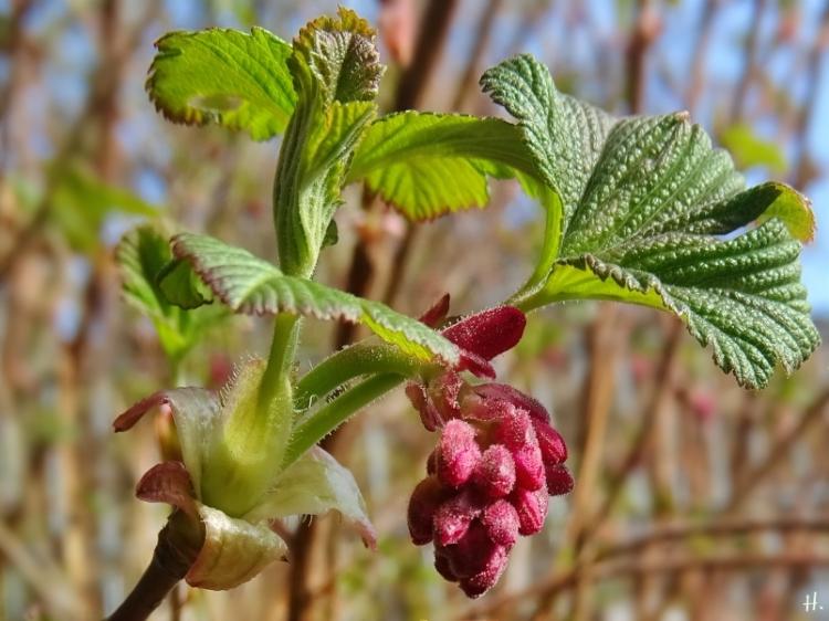 2021-03-28 LüchowSss Garten Blut-Johannisbeere (Ribes sanguineum) junge Blätter + Blütenknospen