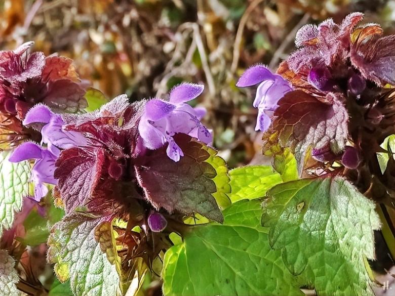 2021-03-28 LüchowSss Garten Purpurrote Taubnessel (Lamium purpureum)