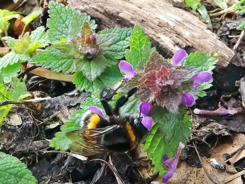 2021-03-28 LüchowSss Garten Purpurrote Taubnessel (Lamium purpureum) + Dunkle Erdhummel (Bombus terrestris) (3)
