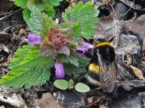 2021-03-28 LüchowSss Garten Purpurrote Taubnessel (Lamium purpureum) + Dunkle Erdhummel (Bombus terrestris)