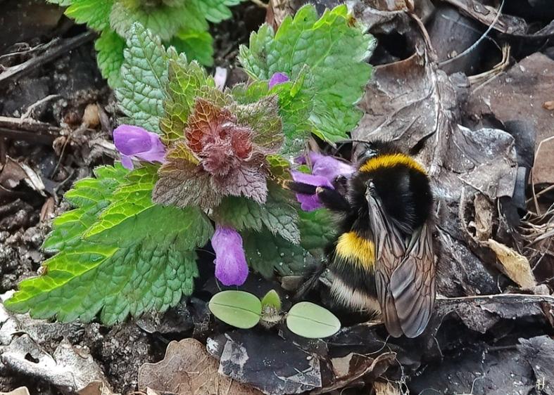 2021-03-28 LüchowSss Garten Purpurrote Taubnessel (Lamium purpureum) + Dunkle Erdhummel (Bombus terrestris) (9)