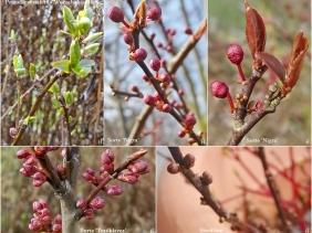 2021-03-29 LüchowSss Garten Blutpflaumen (Prunus cerasifera) (1x5 beschriftet)