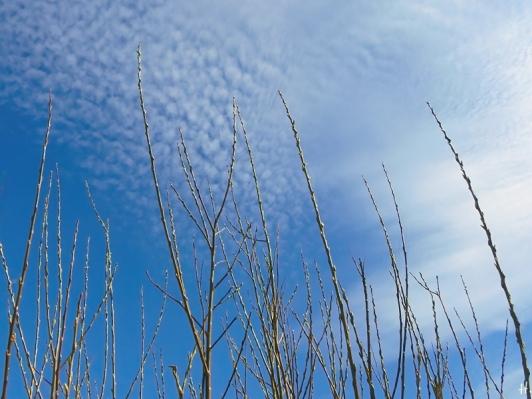 2021-03-29 LüchowSss Garten Bruchweiden-(Salix fragilis)-zweige am Morgen