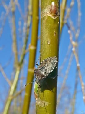 2021-03-29 LüchowSss Garten Graue Gartenwanze (Rhaphigaster nebulosa) an Bruchweide (Salix fraglis)