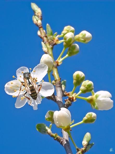 2021-03-30 LüchowSss Garten Krete bzw. Kriechenpflaume-(Prunus insitia)-Blüte + Gallische Feldwespe (Polistes dominula) (1)