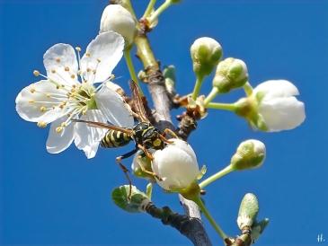 2021-03-30 LüchowSss Garten Krete bzw. Kriechenpflaume-(Prunus insitia)-Blüte + Gallische Feldwespe (Polistes dominula) (2)