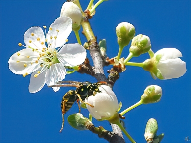 2021-03-30 LüchowSss Garten Krete bzw. Kriechenpflaume-(Prunus insitia)-Blüte + Gallische Feldwespe (Polistes dominula) (3)