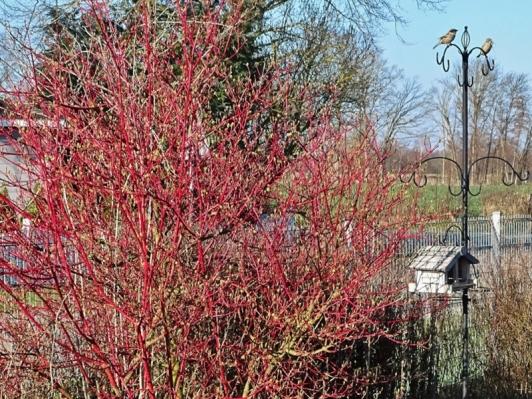 2021-03-30 LüchowSss Garten morgens Sibirischer bzw. Rotholz-Hartriegel (Cornus alba 'Sibirica'), der erste + grösste