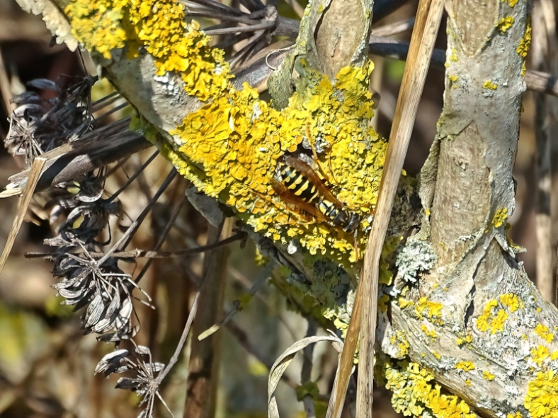 2021-03-30 LüchowSss Garten Gallische Feldwespe (Polistes dominula) an Gelbflechte (Xanthoria parietina)