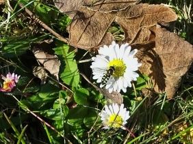 2021-03-30 LüchowSss Garten Mondflecken-Schwebfliege (Eupeodes luniger) + Gänseblümchen(Bellis perennis)
