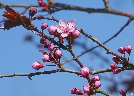 Blutpflaume (Prunus cerasifera) 'Nigra'
