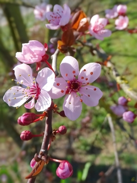 2021-03-31 LüchowSss Garten Blutpflaume (Prunus cerasifera) 'Nigra' (3)