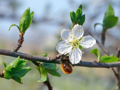 2021-03-31 LüchowSss Garten Krete bzw. Kriechenpflaume (Prunus insitia) + Mauerbiene (Osmia spec.) (1)