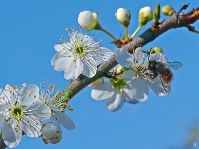 2021-03-31 LüchowSss Garten Krete bzw. Kriechenpflaume (Prunus insitia) + Mauerbiene (Osmia spec.) (2)