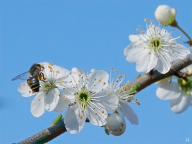 2021-03-31 LüchowSss Garten Krete bzw. Kriechenpflaume +Sandbiene (Adrena spec.) (3)