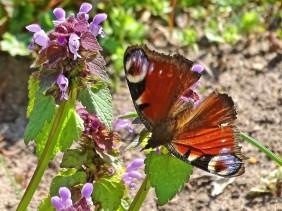 2021-03-31 LüchowSss Garten Purpurrote Taubnessel (Lamium purpureum) + Tagpfauenauge (Aglais io) (3)