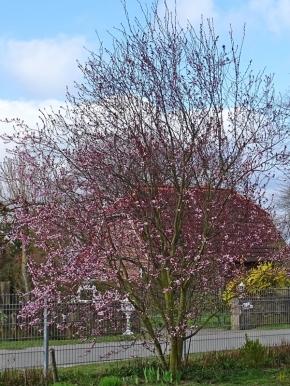 2021-04-02 LüchowSss Garten Blutpflaume (Prunus cerasifera) 'Nigra' (1)