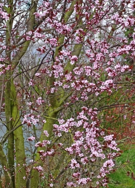 2021-04-02 LüchowSss Garten Blutpflaume (Prunus cerasifera) 'Nigra' (2)