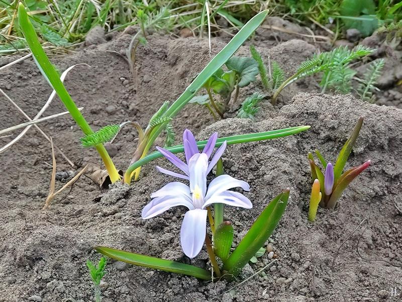 2021-04-02 LüchowSss Garten Gewöhnliche Sternhyazinthe (Chionodoxa luciliae)