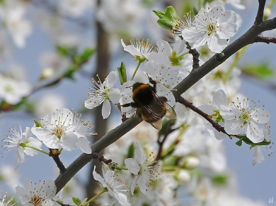 2021-04-02 LüchowSss Garten Krete bzw. Kriechen-Pflaume (Prunus insitia) + Dunkle Erdhummel (Bombus terrestris) (2)