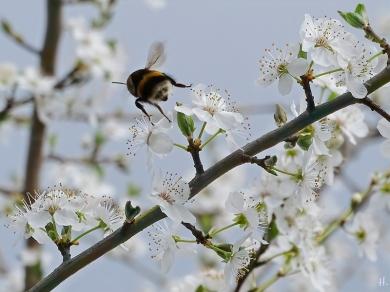 2021-04-02 LüchowSss Garten Krete bzw. Kriechen-Pflaume (Prunus insitia) + Dunkle Erdhummel (Bombus terrestris) (3)
