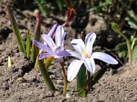 2021-04-03 LüchowSss Garten Gewöhnliche Sternhyazinthe (Chionodoxa luciliae)