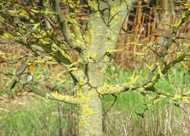 2021-04-06 LüchowSss Garten zwei Rotkehlchen (Erithacus rubecula)