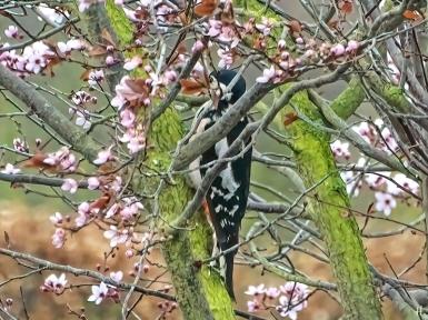 weiblicher Buntspecht (Dendrocopos major) am Futterplatz in der blühenden Blutpflaume (Prunus cerasifera) 'Nigra'