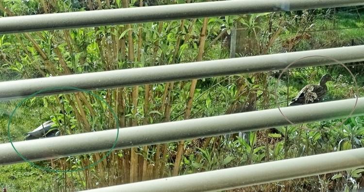 2021-04-08 LüchowSss Garten Stockenten-Paar (Anas platyrhynchos) Erpel grün + Ente braun v.d. Fenster