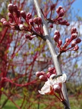 Blutpflaume (Prunus cerasifera) 'Trailblazer' + Schwebfliege