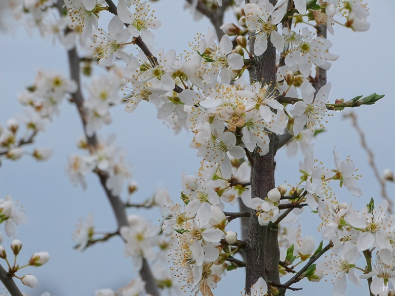 2021-04-11 LüchowSss Garten andere Wildpflaume 'Prunus X' evtl. eine andere Variante der Kriechenpflaume (Prunus domestica subspec. insitia) (2)