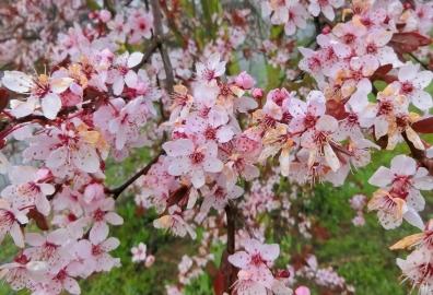 """Garten Blutpflaume (Prunus cerasifera) 'Nigra' I mit """"vermatschten"""" Blüten"""