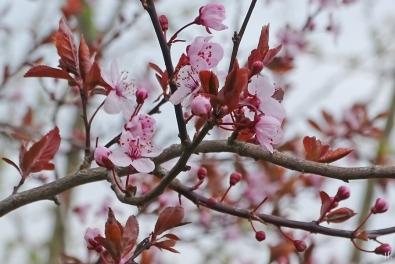 Garten Blutpflaume (Prunus cerasifera) 'Nigra' II mit einigen Blüten u. vielen Knospen