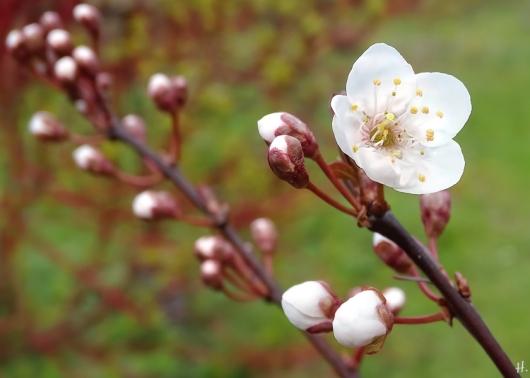 Blutpflaume (Prunus cerasifera) 'Trailblazer' m. Blüte + Knospen