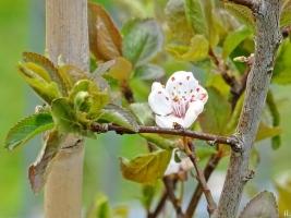 Blutpflaume (Prunus cerasifera) Wurzelschössling m. Blüten + inzw. bronzef. Blättern