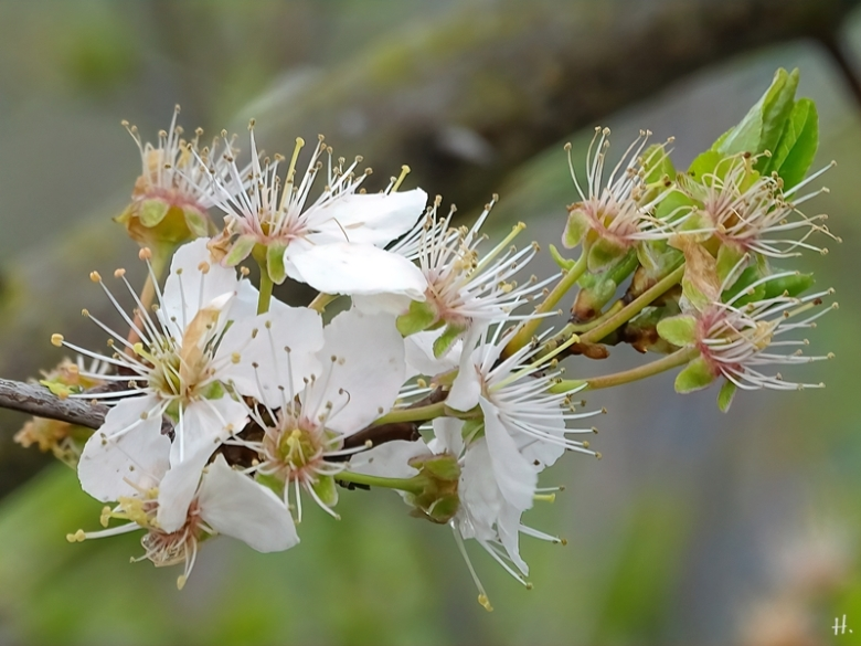 2021-04-11 LüchowSss Garten Wildpflaume Krete bzw. Kriechenpflaume (Prunus domestica subspec. insitia)(1)