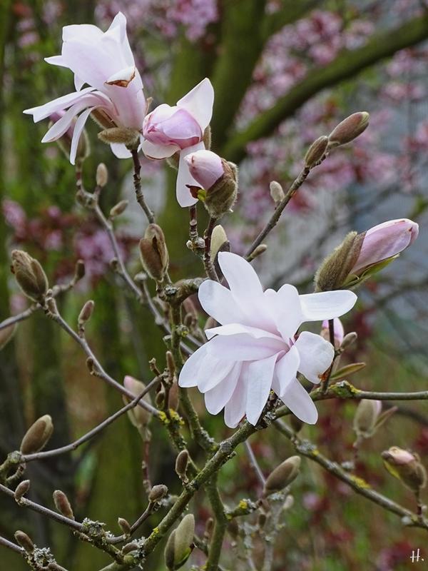 2021-04-12 LüchowSss Garten Sternmagnolie (Magnolis stellata)