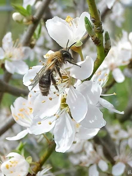 2021-04-12 LüchowSss Garten Wildpflaume ('Prunus X') m. Rotschopfiger Sandbiene (Andrena haemorrhoa) (1)
