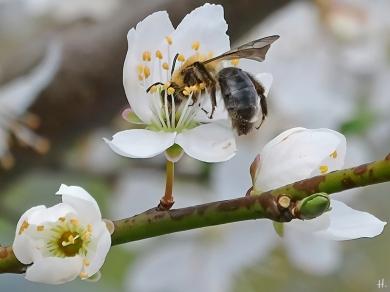 2021-04-12 LüchowSss Garten Wildpflaume ('Prunus X') m. Rotschopfiger Sandbiene (Andrena haemorrhoa) (4)