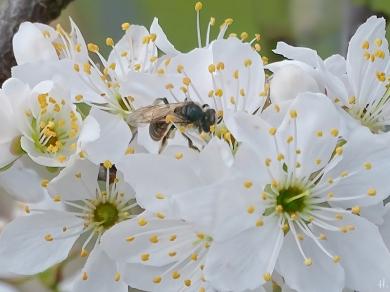2021-04-12 LüchowSss Garten Wildpflaume ('Prunus X') m. unbest. Sandbiene (Andrena spec.) (2)