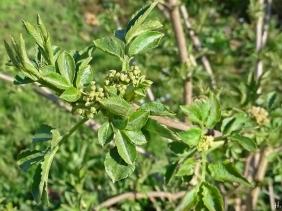 2021-04-13 LüchowSss Garten Schwarzer Holunder (Sambucus nigra) m. jungen Blättern + Blütenknospen