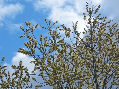 2021-04-14 b. LüchowSss Spaziergang + Salweiden-Kätzchen (Salix caprea)