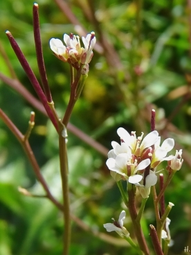 2021-04-14 LüchowSss Garten Behaartes Schaumkraut (Cardamine hirsuta) (2)