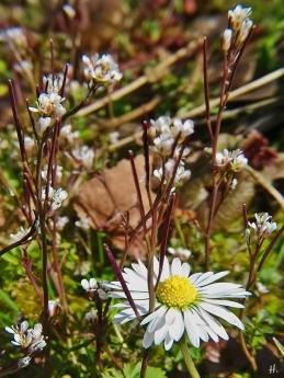 2021-04-14 LüchowSss Garten Behaartes Schaumkraut (Cardamine hirsuta) + Gänseblümchen (Bellis perennis) (1)