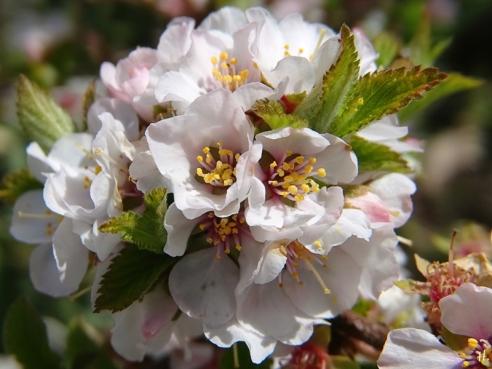 2021-04-14 LüchowSss Garten Filzkirsche (Prunus tomentosa)