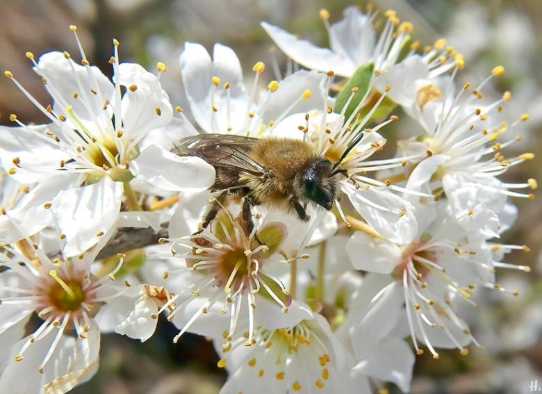 2021-04-14 LüchowSss Garten unbest. Sandbiene (Andrena spec.) + Kretenblüte (Prunus domestica subspec. insitia)