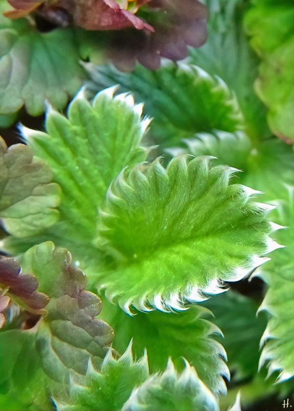 2021-04-14 LüchowSss Garten wahrsch. Blutrotblühendes Fingerkraut (Potentilla atrosanguinea)