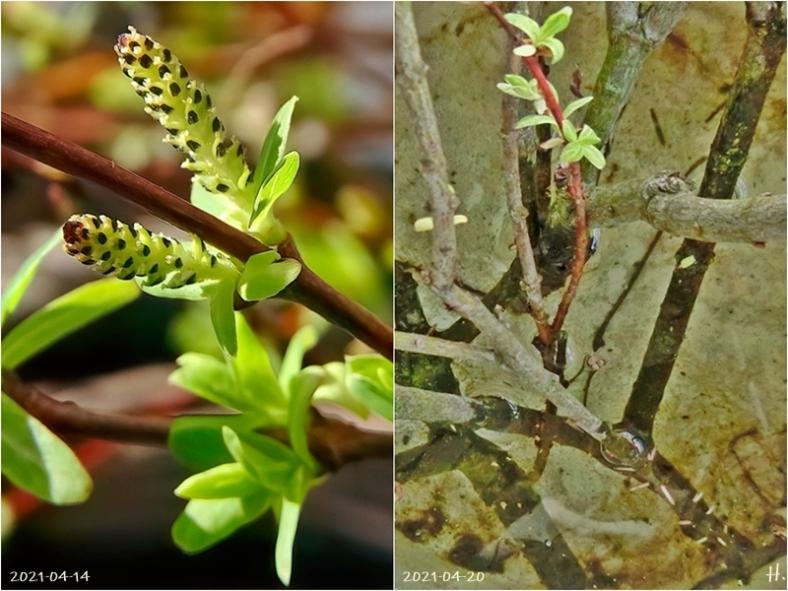 2021-04-14+20 LüchowSss Garten (1x2) Findelzweige Japanische Weide bzw. Harlekin-Weide (Salix integra) Kätzchen + Bewurzelung